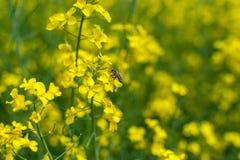 Vuelo de la abeja del primer en campo de la rabina Sesión fotográfica macra con el fondo borroso Fotos de archivo