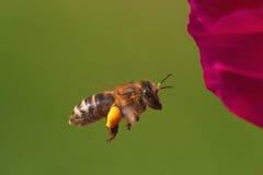 Vuelo de la abeja delante de una flor Fotografía de archivo libre de regalías