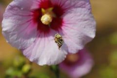 Vuelo de la abeja delante de una flor Fotografía de archivo