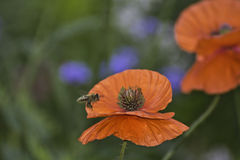 Vuelo de la abeja en amapola anaranjada Foto de archivo