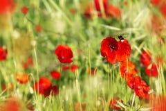 Vuelo de la abeja en campo de Poppy Flowers roja Imagen de archivo libre de regalías