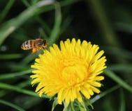 Vuelo de la abeja en el diente de león Imagen de archivo