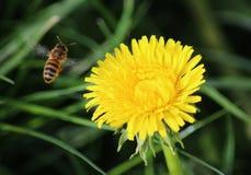 Vuelo de la abeja en el diente de león Imágenes de archivo libres de regalías