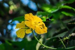 Vuelo de la abeja en flor Fotos de archivo libres de regalías