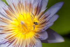 vuelo de la abeja en la flor de loto Imagen de archivo