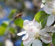 Vuelo de la abeja en huerta Imagen de archivo