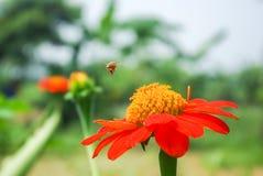 Vuelo de la abeja en la flor Fotos de archivo libres de regalías