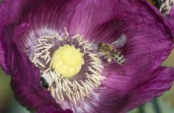 Vuelo de la abeja en la flor de la amapola Imagen de archivo libre de regalías