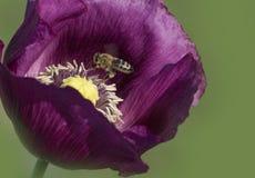 Vuelo de la abeja en la flor de la amapola Fotos de archivo libres de regalías