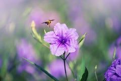 Vuelo de la abeja en la flor púrpura de la lluvia Foto de archivo libre de regalías