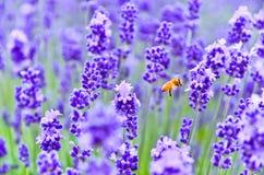 Vuelo de la abeja en la granja de la lavanda Imagenes de archivo