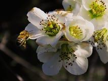 Vuelo de la abeja en las flores Imagen de archivo