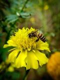 Vuelo de la abeja en las flores amarillas Fotografía de archivo libre de regalías