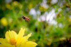 Vuelo de la abeja en las flores amarillas Imágenes de archivo libres de regalías