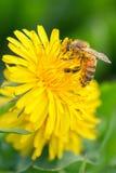 Vuelo de la abeja en las flores del diente de león Foto de archivo