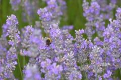 Vuelo de la abeja en lavanda Imagen de archivo