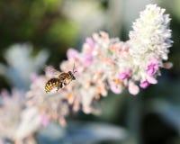 Vuelo de la abeja en plantas del oído de los corderos Imagen de archivo