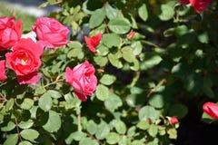 Vuelo de la abeja en rosa del rojo Foto de archivo libre de regalías