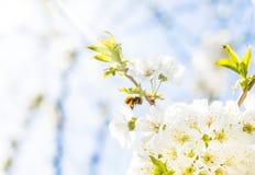 Vuelo de la abeja en un cerezo floreciente Fotos de archivo libres de regalías