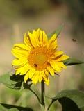 Vuelo de la abeja en un girasol Foto de archivo