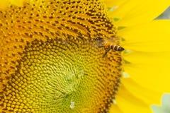 Vuelo de la abeja en un girasol Foto de archivo libre de regalías