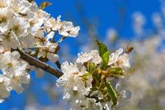 Vuelo de la abeja en una flor de la cereza Imagenes de archivo