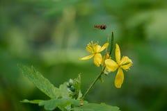 Vuelo de la abeja en wildflower amarillo Imagenes de archivo