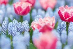 Vuelo de la abeja entre tulipanes rosados y blancos y jacintos de uva azules Foto de archivo libre de regalías