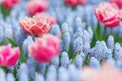 Vuelo de la abeja entre tulipanes rosados y blancos y jacintos de uva azules Foto de archivo