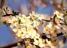 Vuelo de la abeja de la flor o de Cherry Blossom With Honey Fotos de archivo libres de regalías