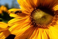 Vuelo de la abeja hacia el girasol imágenes de archivo libres de regalías