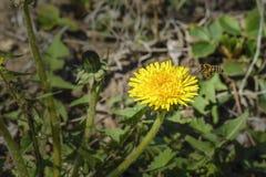 Vuelo de la abeja hacia una flor Imagen de archivo libre de regalías