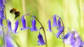 Vuelo de la abeja más allá de una campanilla en primavera Imagen de archivo libre de regalías