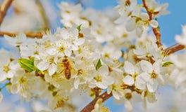 Vuelo de la abeja de la miel en Cherry Blossom en primavera Foto de archivo libre de regalías