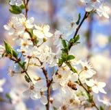 Vuelo de la abeja de la miel en Cherry Blossom en primavera con el foco suave, Sa Imagenes de archivo