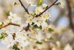Vuelo de la abeja de la miel en Cherry Blossom en primavera con el foco suave, Sa Foto de archivo libre de regalías