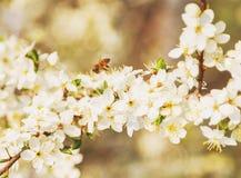 Vuelo de la abeja de la miel en Cherry Blossom en primavera con el foco suave, Sa Fotografía de archivo libre de regalías