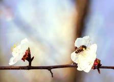 Vuelo de la abeja de la miel en Cherry Blossom en primavera con el foco suave, Sa Foto de archivo