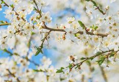 Vuelo de la abeja de la miel en Cherry Blossom en primavera con el foco suave, Sa Fotografía de archivo