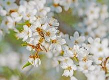 Vuelo de la abeja de la miel en Cherry Blossom en primavera con el foco suave, Sa Imágenes de archivo libres de regalías