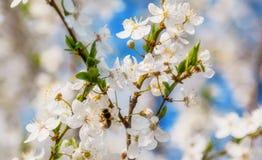 Vuelo de la abeja de la miel en Cherry Blossom en primavera con el foco suave, Sa Fotos de archivo libres de regalías