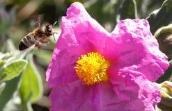 Vuelo de la abeja de la miel para recoger el polen cerca de la flor Imagen de archivo
