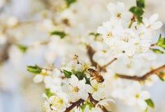 Vuelo de la abeja de Sakura Flower o de Cherry Blossom Fotografía de archivo libre de regalías