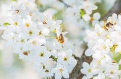 Vuelo de la abeja de Sakura Flower o de Cherry Blossom Imagen de archivo