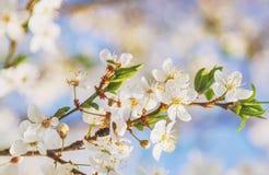 Vuelo de la abeja de Sakura Flower o de Cherry Blossom Honey Fotos de archivo libres de regalías