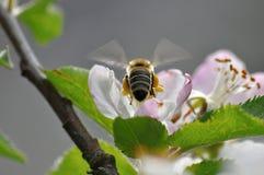 Vuelo de la abeja sobre el flor del árbol del aple Imagen de archivo