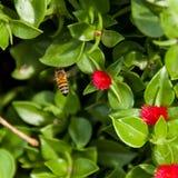 Vuelo de la abeja sobre el macizo de flores fotos de archivo libres de regalías