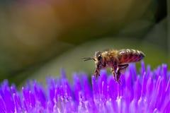 Vuelo de la abeja sobre la flor de la alcachofa foto de archivo libre de regalías
