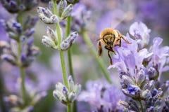 Vuelo de la abeja sobre un campo de la lavanda Foto de archivo