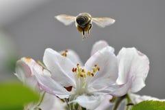 Vuelo de la abeja sobre una flor Imagenes de archivo